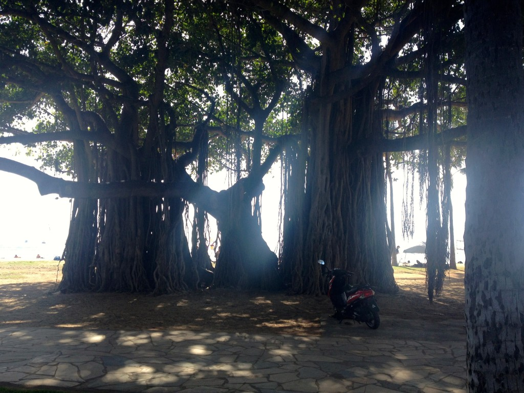 Hawaiian Banyan Tree Pictures