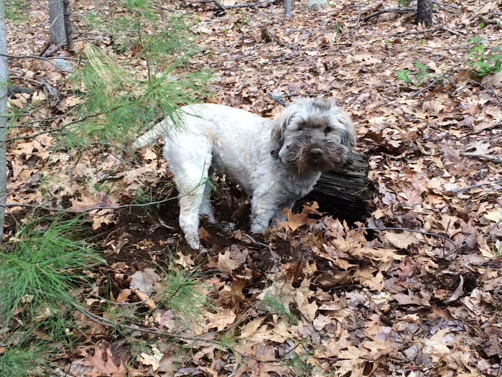 Dirty dog after digging hole in woods