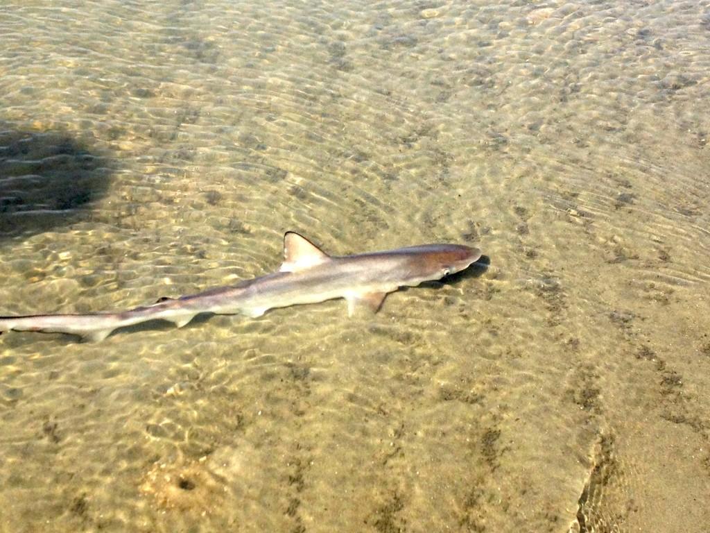 Sand shark hilton head island